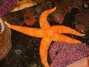 Small spine sea star