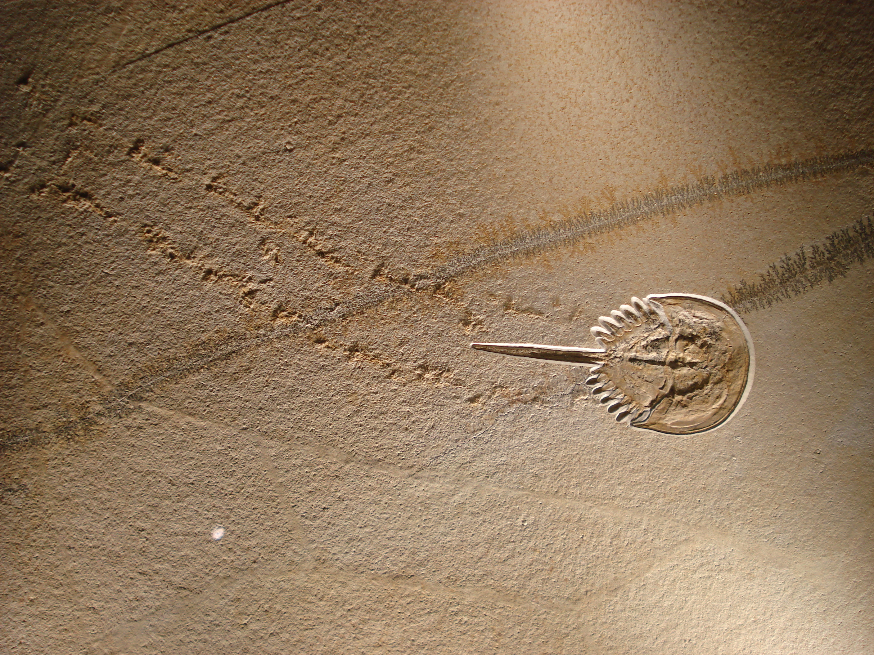 Horseshoe crab fossil in the sand