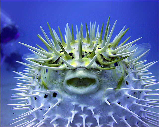 Photo of a Puffer Fish that is puffed up.