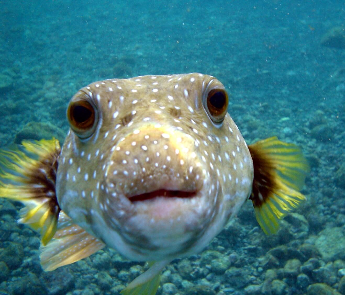 Photo of a Puffer Fish