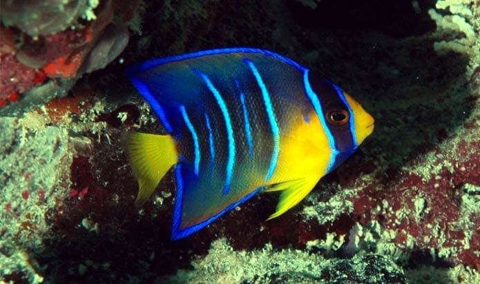 Image of a Queen Angel Fish