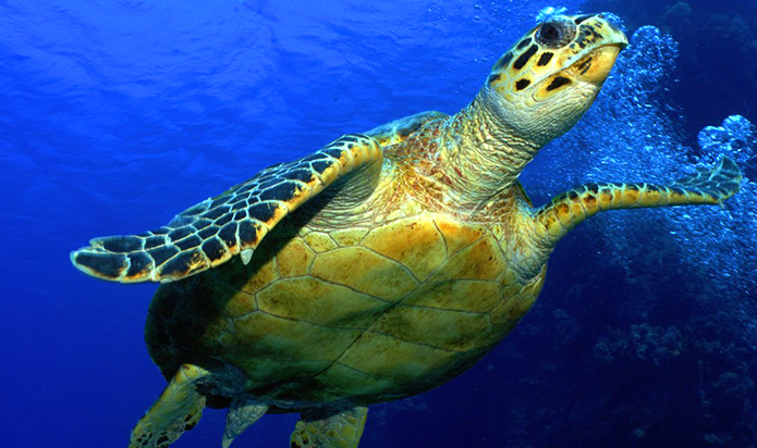 Hawksbill sea turtle in the ocean