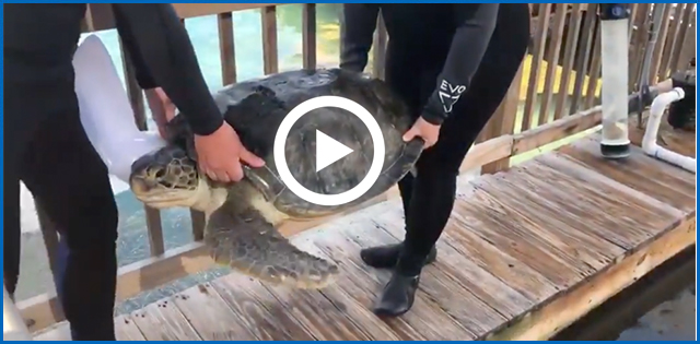 Rocky the Sea Turtle video on the New York Post
