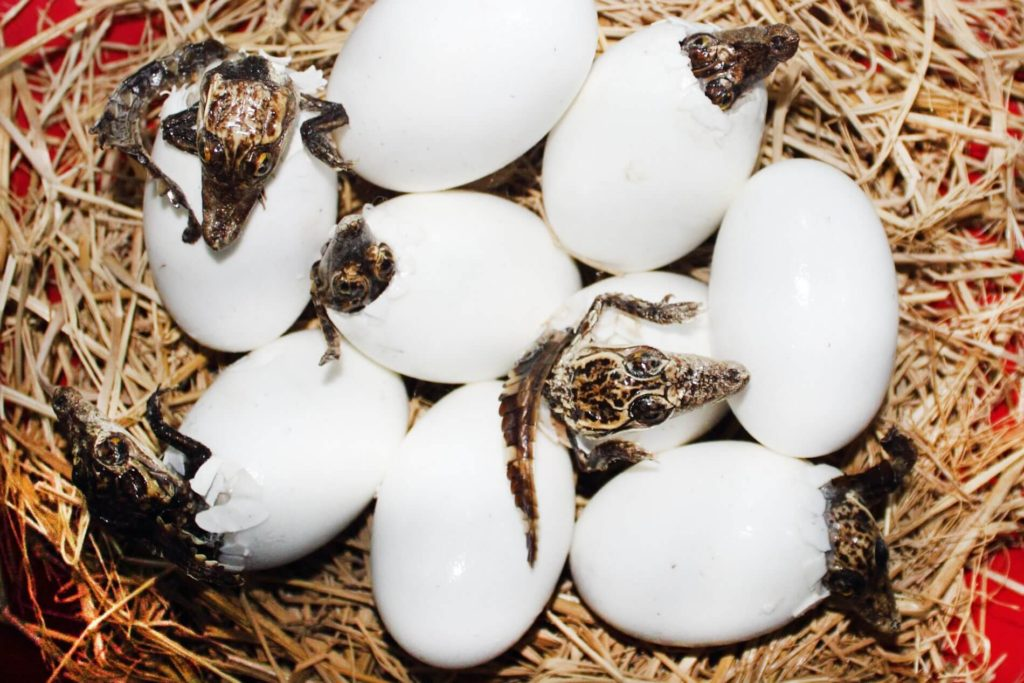 Baby alligators coming out of their shells