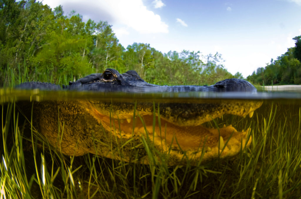 Alligator with mouth open underwater