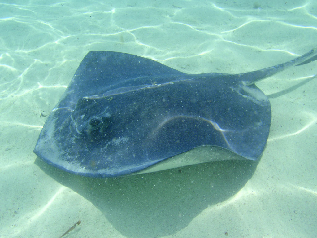 Southern sting ray on the ocean floor