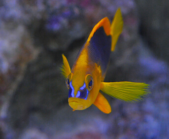 Image of a colorful blue and yellow fish.
