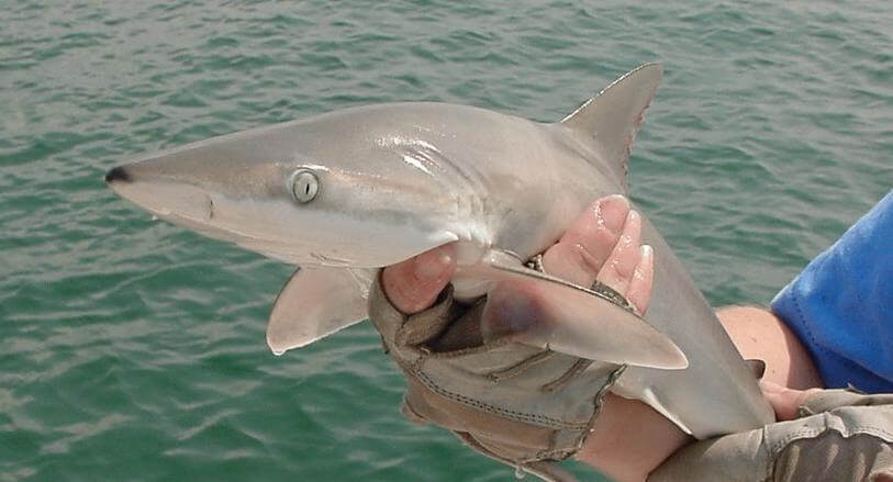 Blacknose shark in the ocean