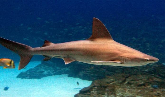 Image a Sandbar Shark