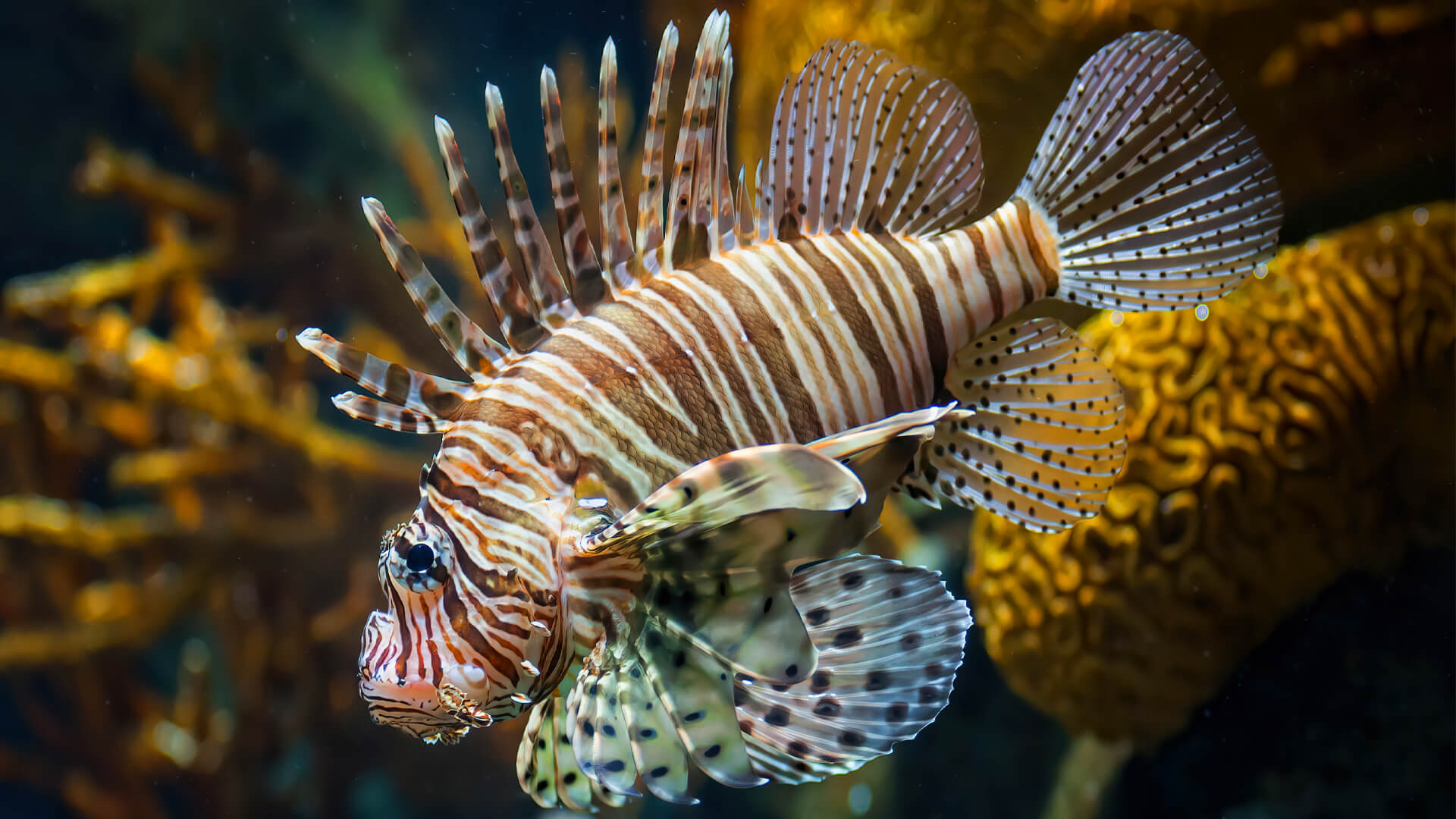 red lionfish swimming in a coral reef